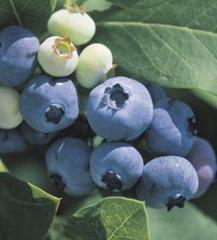 166_billberries