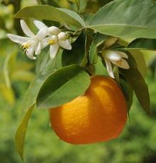 000_seville oranges2