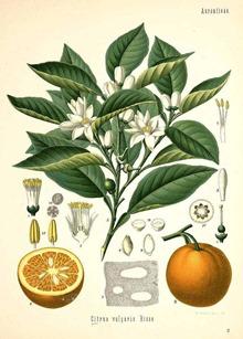 000_seville oranges