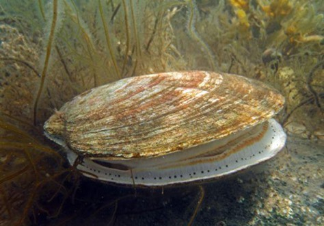 Iceland scallop2