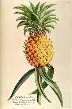 The History of Pineapples