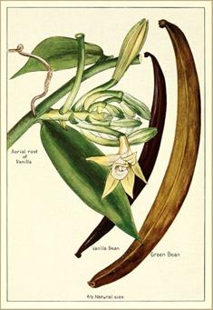A Brief History of Vanilla