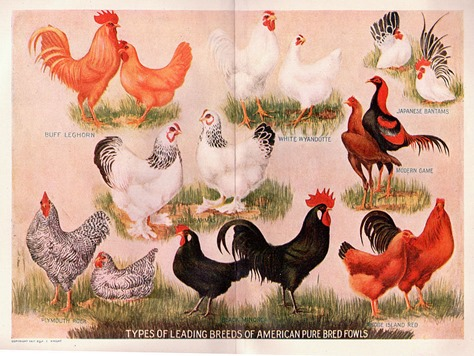 A short History of Chicken as Food