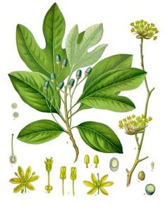 Sassafras albidum (sassafras)