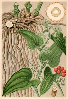 Smilax ornata (sarsaparilla)